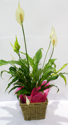 Spathaphyllum (Peace Lily)