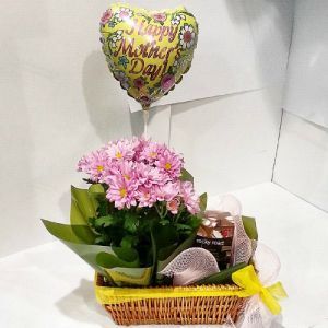 Potted Chrysanthemum Gift for Mother Day
